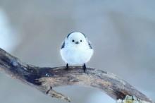 【小鳥ガーデン】 シマエナガ ポストカード