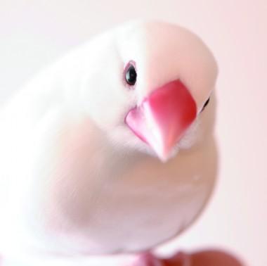 文鳥_GMY6013