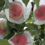 「今味わってほしい、旬のあら川の桃と百果桃」